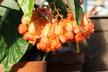 Begonia 'Orange Rubra' - Cane-Like Begonia