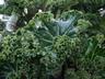 Begonia 'Crestabruchii' - Begonia