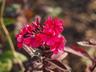 Phlox paniculata 'Lord Clayton' - Perennial Phlox
