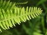 Polypodium formosanum 'Cristatum' - Polypody