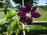 Clematis 'Julka' (Early Large-flowered Group) - Early Large-Flowered Clematis