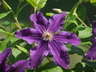 Clematis 'Marcelina' (Late Large-flowered Group) - Late Large-Flowered Clematis