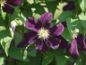 Clematis 'Gizela' (Late Large-flowered Group) - Late Large-Flowered Clematis