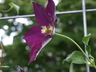 Clematis 'Mazowsze' (Late Large-flowered Group) - Late Large-Flowered Clematis