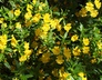 Diplacus aurantiacus 'Georgie Yellow' - Bush Monkey-Flower