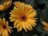 Gerbera jamesonii 'Mega Revolution Golden Yellow with Dark Eye' - Gerbera Daisy