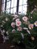 Argyranthemum frutescens 'Cobsing' [sold as Comet Pink (TM)] - Marguerite