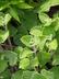 Plectranthus argentatus 'Nicolleta' - Spurflower