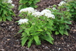 Pentas lanceolata 'Butterfly White' (Butterfly Group) - Egyptian Star-Cluster