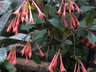 Fuchsia x hybrida 'Salmon Pink' [sold as Tassel (TM)] - Fuchsia