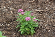 Pentas lanceolata 'Butterfly Lavender Shades' - Egyptian Star-Cluster