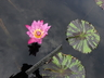 Nymphaea 'Evelyn Randig' - Tropical Day-Flowering Waterlily