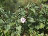 Datura metel 'Purple Ruffles' - Downy-Thorn-Apple