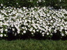 Impatiens 'SAKIMP014' [sold as SunPatiens Compact White (R)] (SunPatiens Group) - New Guinea Impatiens