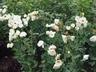 Eustoma grandiflorum 'Cinderella Ivory' - Lisianthus