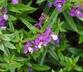 Angelonia angustifolia 'PAS803822' [sold as Serenita Purple (R)] (Serenita Group) - Angelonia