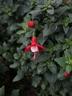 Fuchsia x hybrida 'Shabetty' [sold as Shadow Dancers Betty (R)] - Fuchsia
