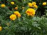 Tagetes patula 'Bonanza Bee' (Bonanza Group) - French Marigold