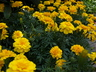 Tagetes patula 'PAS92658' [sold as Durango Yellow (TM)] (Durango Group) - French Marigold