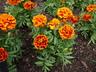 Tagetes patula 'Bonanza Flame' (Bonanza Group) - French Marigold
