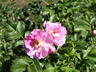 Rosa 'Jens Munk' - Hybrid Rugosa Rose