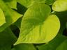 Ipomoea batatas 'Sweet Caroline Sweetheart Light Green' - Sweet-Potato