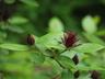 Calycanthus floridus 'Michael Lindsey' - Carolina Allspice