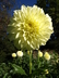 Dahlia 'Edna C' - Formal Decorative Dahlia