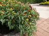 Capsicum annuum 'Garda Chandelier' - Ornamental Pepper