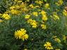 Euryops chrysanthemoides 'Sonnenschein' - Euryops