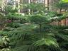 Araucaria heterophylla - Norfolk-Island-Pine