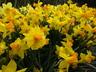 Narcissus 'Jetfire' - Cyclamineus Daffodil