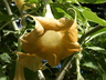 Brugmansia x candida 'Maya' [sold as Sunset] - Angel's-Trumpet
