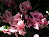 Cyclamen persicum 'Dhiva Rose Eye' [sold as Halios (R)] - Florist's Cyclamen