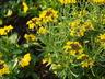 Erysimum 'Canaries' - Wall-Flower