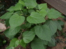Clerodendrum bungei - Glorybower
