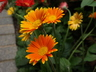 Gerbera (Garvinea Group) - Gerbera Daisy