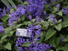 Plectranthus ecklonii - Purple Spurflower