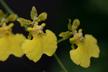 x Oncidesa grex Lemon Heart