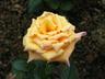 Rosa 'TANavl' [sold as Milva] - Hybrid Tea Rose