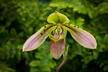 Paphiopedilum bullenianum