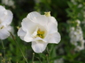 Eustoma grandiflorum 'Echo Pure White' - Lisianthus