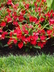 Impatiens 'Balcebred' [sold as Celebrette Red] (Celebrette Group) - New Guinea Impatiens