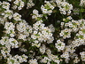 Lobularia 'INLBUWIKNI' [sold as White Knight (TM)] - Sweet-Alyssum