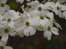 Cornus florida 'Appalachian Spring' - Flowering Dogwood
