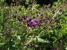 Vernonia glauca - Ironweed