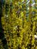 Forsythia x intermedia 'Lynwood' - Border Forsythia