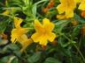 Diplacus aurantiacus 'Jelly Bean Gold' - Bush Monkey-Flower