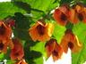 Abutilon 'Orange Hot Lava' - Flowering-Maple