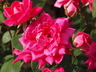 Rosa 'Radtkopink' [sold as Double Pink Knock Out (R)] - Shrub Rose